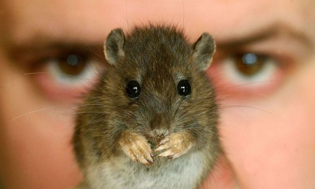 Боязнь мышей и крыс: название фобии, как избавиться