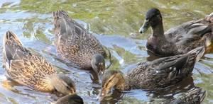 Боязнь уток, гусей: фобия, что они за тобой следят